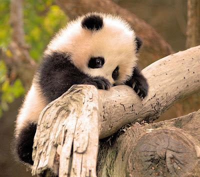 fotografias de osos pandas bebes juguetones