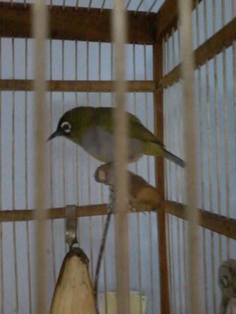 Kembali lagi kita membahas burung kecil yang berprestasi di tanah air dengan bunyi kicauan Cara  Bongkar Isian Burung Pleci