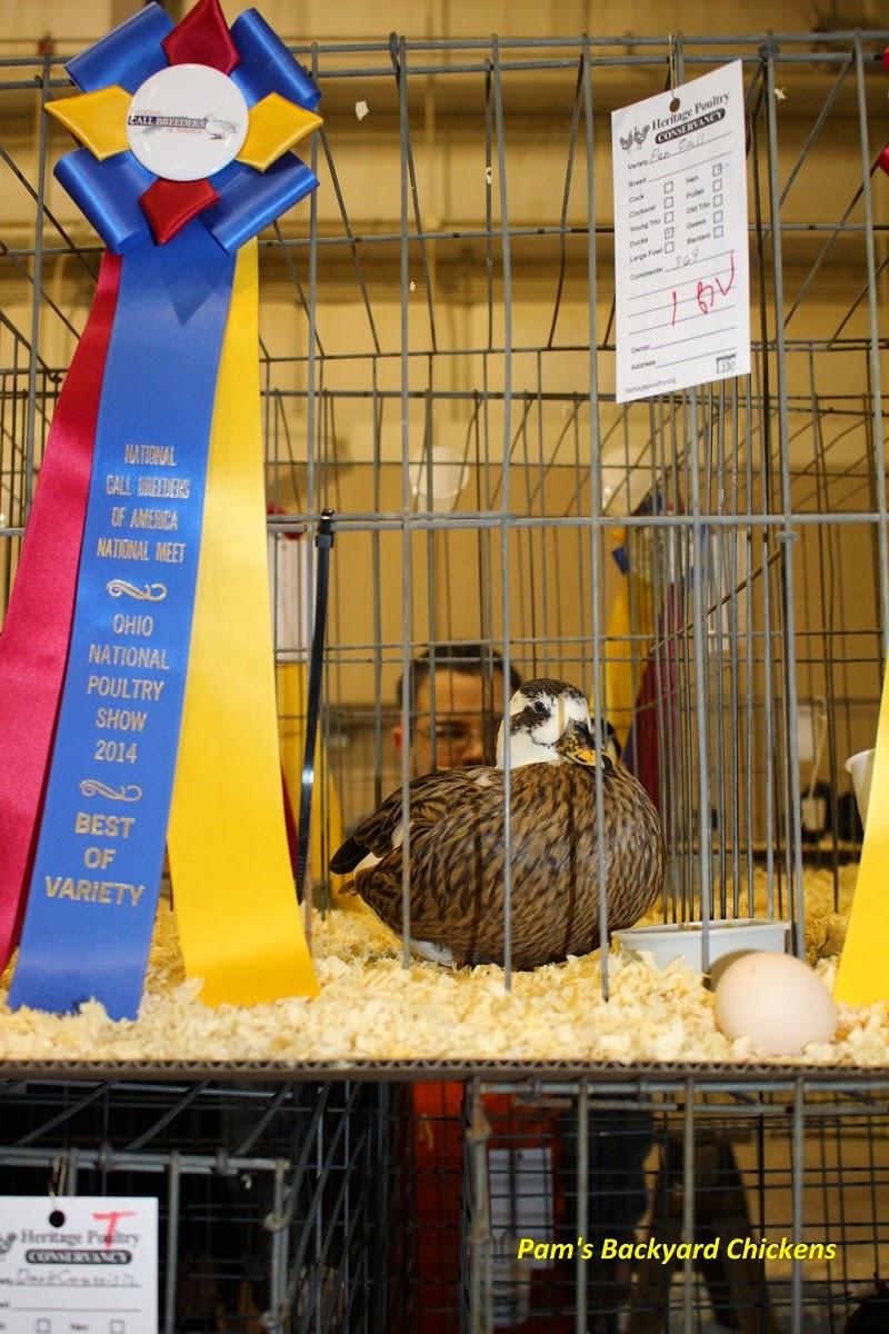 Pam's Backyard Chickens: The Ohio National