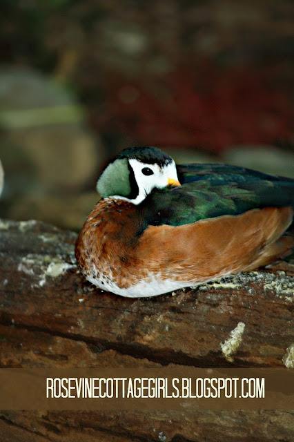 Image of a green, brown and white duck with his bill tucked under its wing byt the rosevinecottagegirls.com