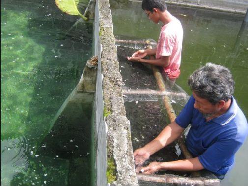 Teknik Beternak Ikan Gurame - Pendederan