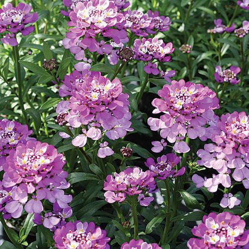 Piante e fiori iberis for Piante e fiori perenni