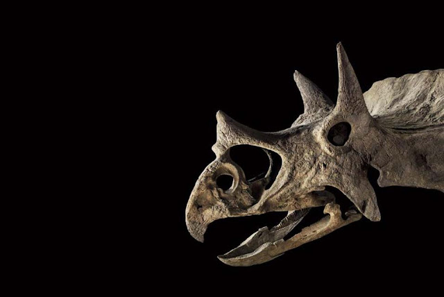 Skull of triceratops sells for almost 180,000€ at Paris auction house