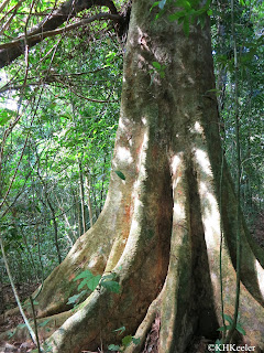 Rainforest tree with buttress roots, Panama