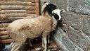 domba aqiqah betina