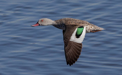 Cape Teal Duck in Flight over the Diep River / Table Bay Nature Reserve