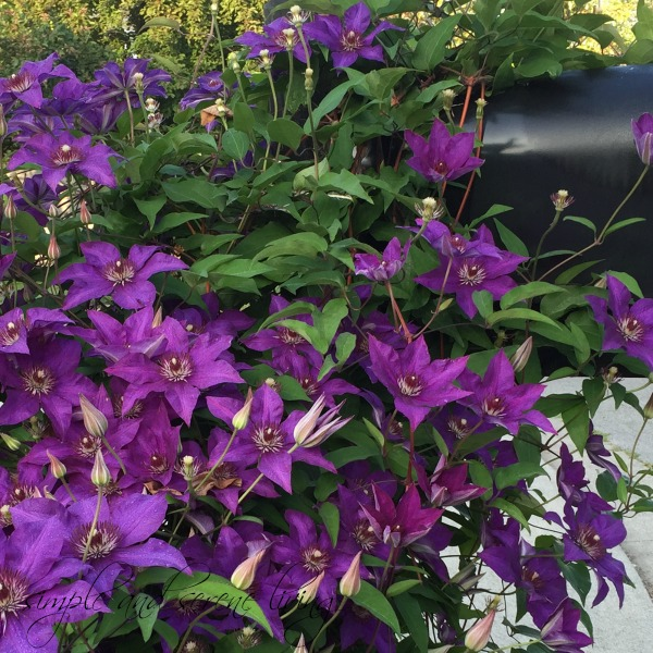 purple flowers mailbox clematis
