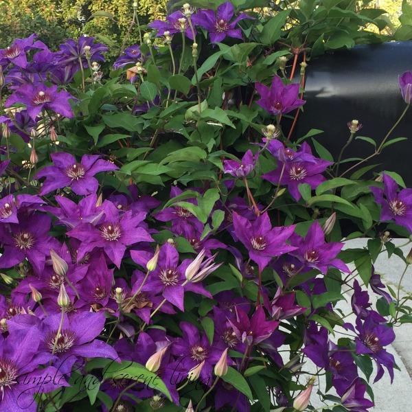 purple flowers mailbox clematis