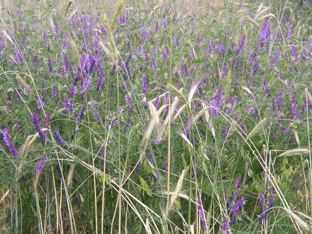 winter rye and hairy vetch is a classic winter cover crop the vetch keeps flowering after the rye has set its seeds - Winter Rye