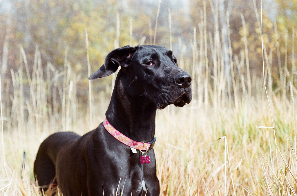 Cute Dogs: Black great Danes