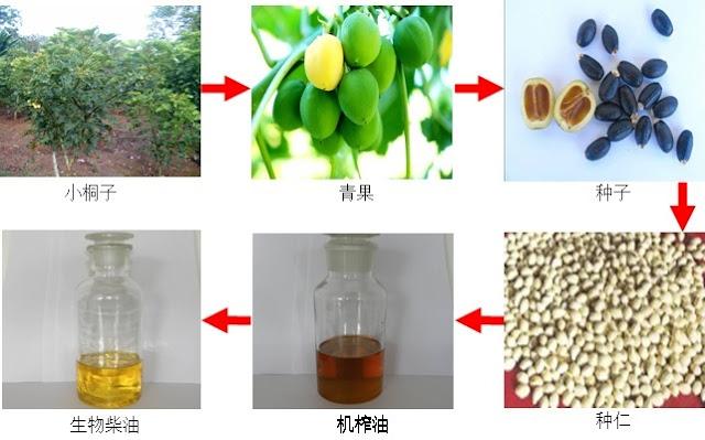 مراحل إنتاج الوقود الحيوي من شجرة الجاتروفا