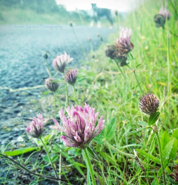 clover plant image