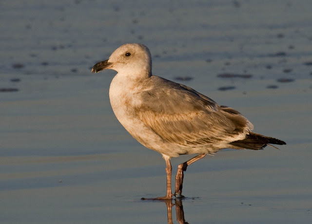 Western Gull, second cycle