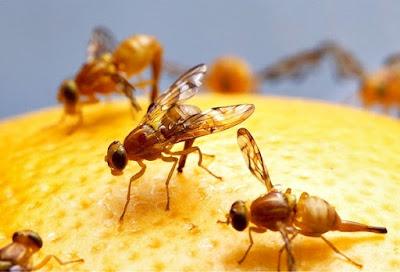 A mosca da fruta como controlar