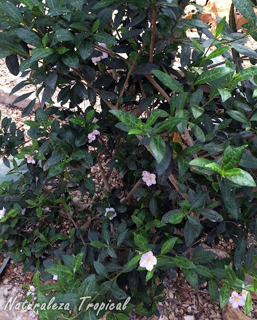 Vista de la planta arbustiva Solanum havanense