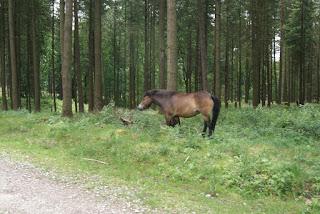 Ein braunes Exmoor Pony kratzt sich am Baum