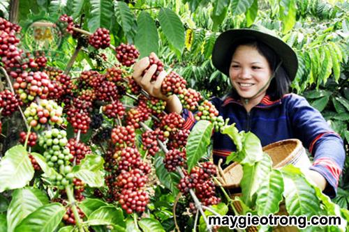 Sâu bệnh hại cà phê và biện pháp khắc phục
