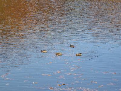 白旗池の水鳥(カモ)