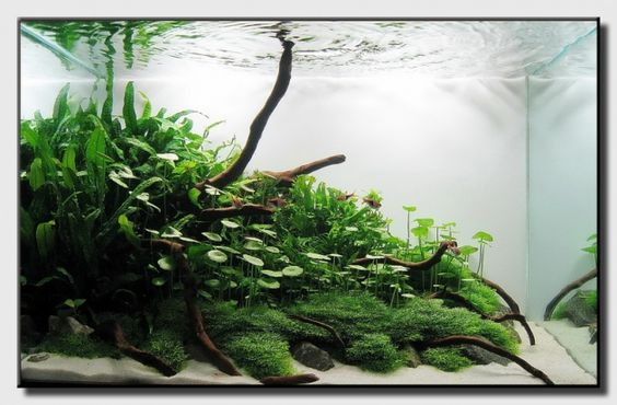 Rau má dù lùn trong một hồ thủy sinh