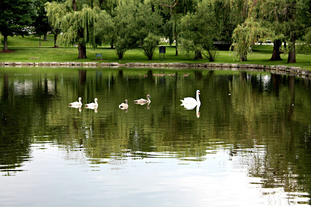 Swans swimming in a lake at the Chicago Atheneaeum Sculpture Park.