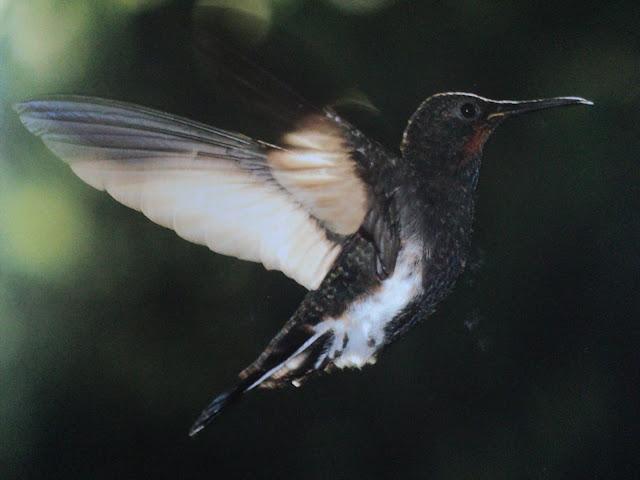 Colorido, colibri