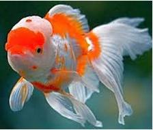 Jenis Ikan Hias Air Tawar Koki