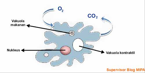 cara amoeba bernafas atau respirasi