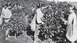 Para petani Priangan (Jawa Barat) pada abad ke-19 tengah memetik teh