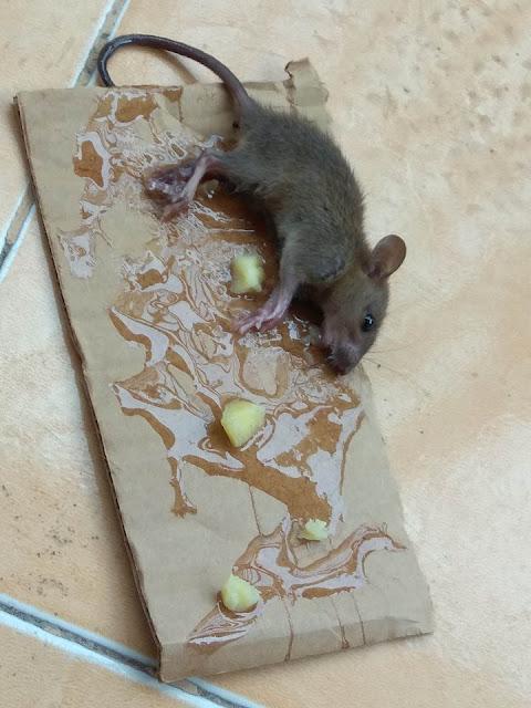 Cara Mengusir Tikus