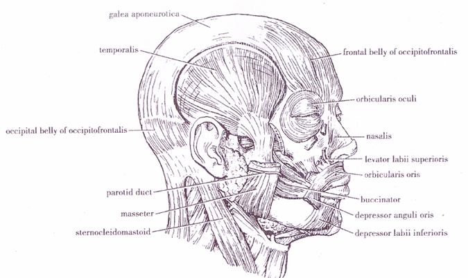 MBBS Medicine (Humanity First): Muscles of head and neck