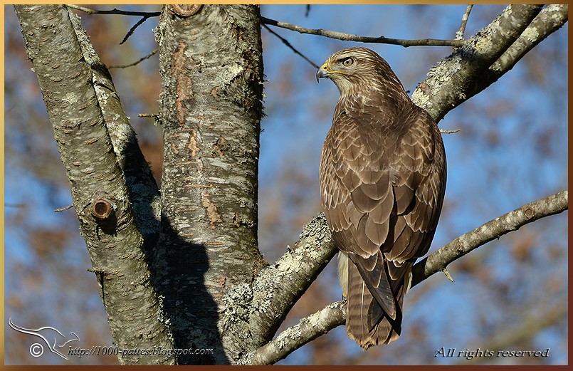 Local Common buzzards