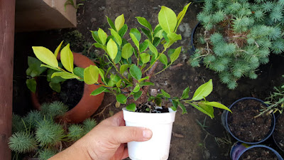 chinese banyan cutting pre bonsai