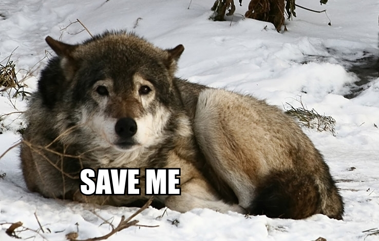 Why It's So Important to Save the Wolves (Video)