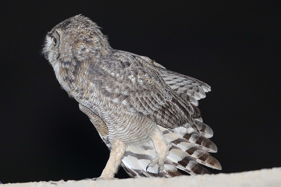 Arabian Spotted Eagle-Owl