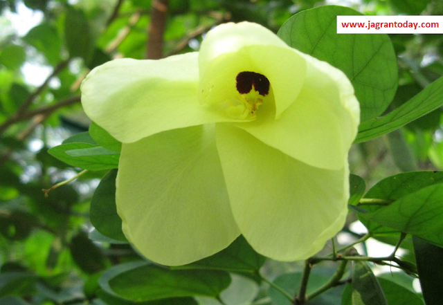 Kachnaar ke Rogon mein Adbhut Prayog
