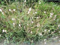 Ασφόδελος-Αsphodelus aestivus