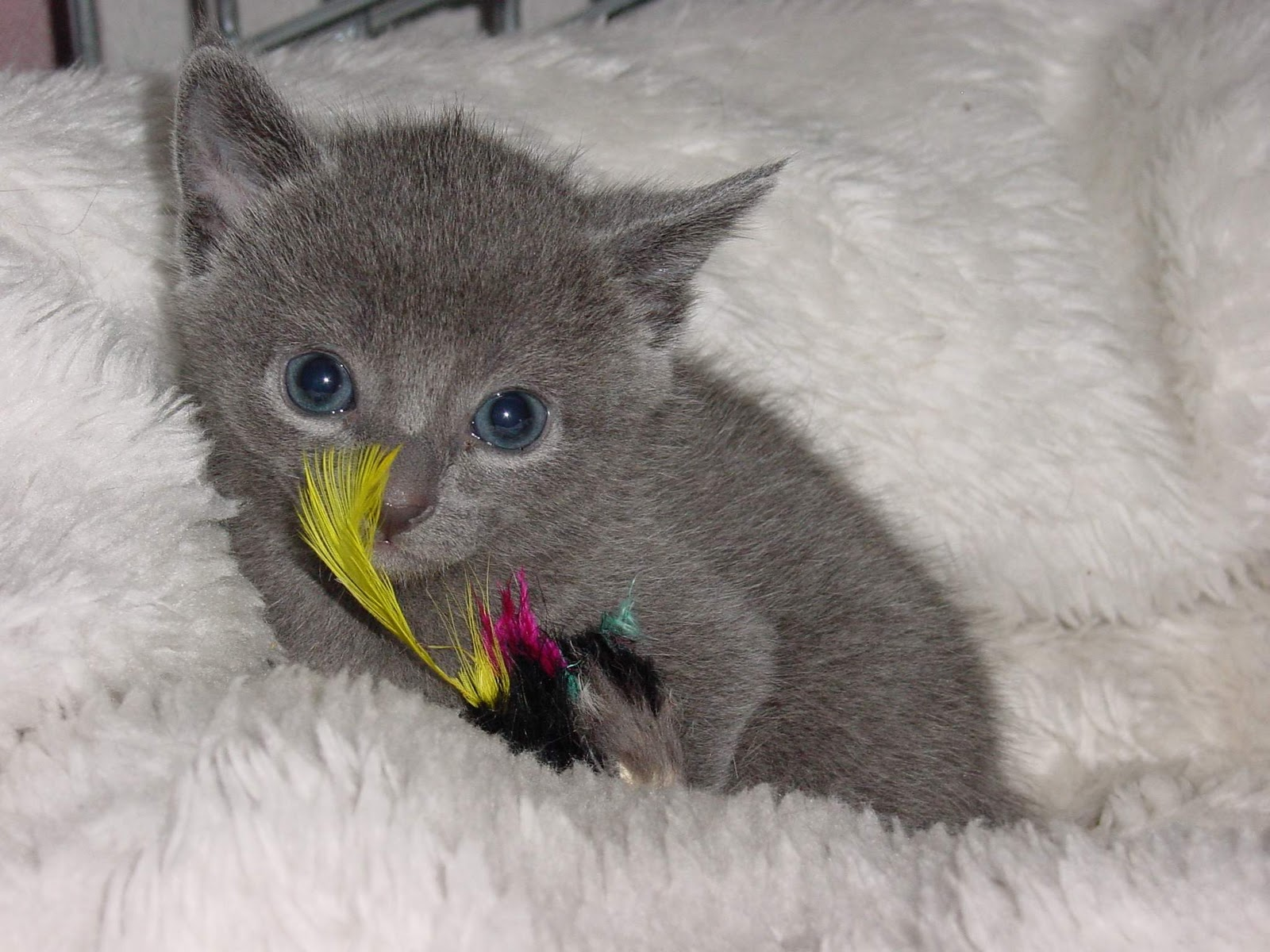 RUSSIAN BLUE CATS, by Jason ~ thePiperSHIHTZU
