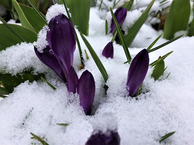 violette Krokusse im Schnee