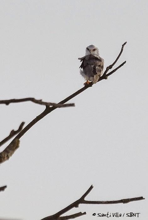 BIRDING IN SPAIN... el blog de Spainbirds : Migración por