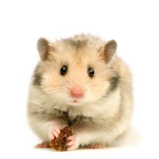 Todo sobre los hamsters - Toda la información