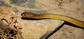 inland taipan snake,most poisonous snake