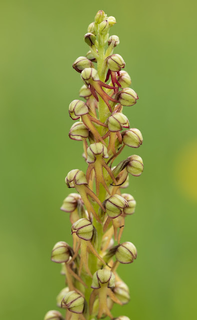 Man Orchid - Copper Hill, Lincolnshire