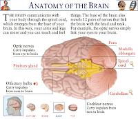 anatomy-of-brain