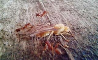 calon ratu semut rangrang