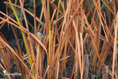 El avetorillo común (Ixobrychus minutus) también se esconde sigilosamente entre la vegetación.
