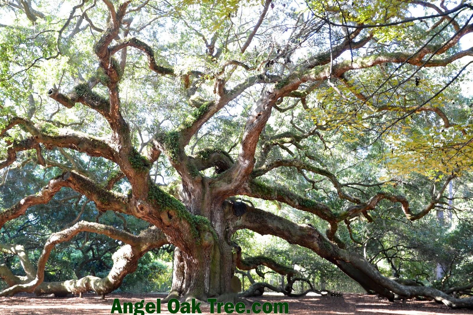 Angel Oak St Johns Island Visit