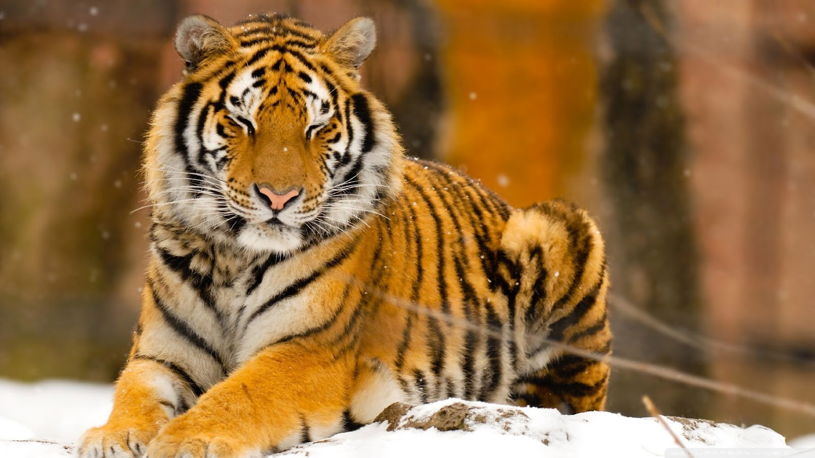 Top 35 most beautiful tiger wallpapers - Animal 1920x1080 ...