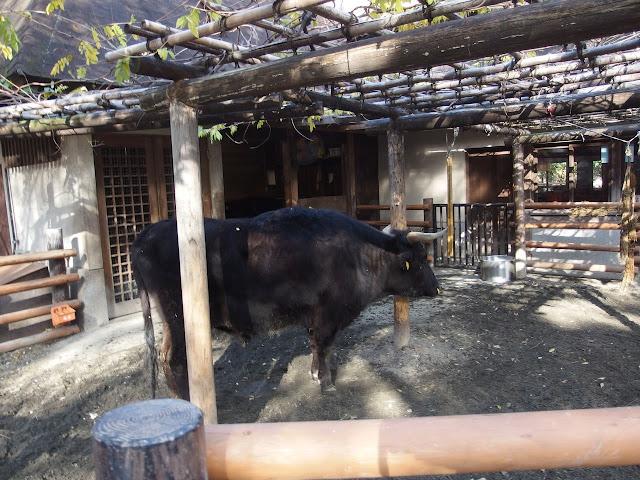 残るはわずか2種だけ、日本の在来牛・見島牛とは?