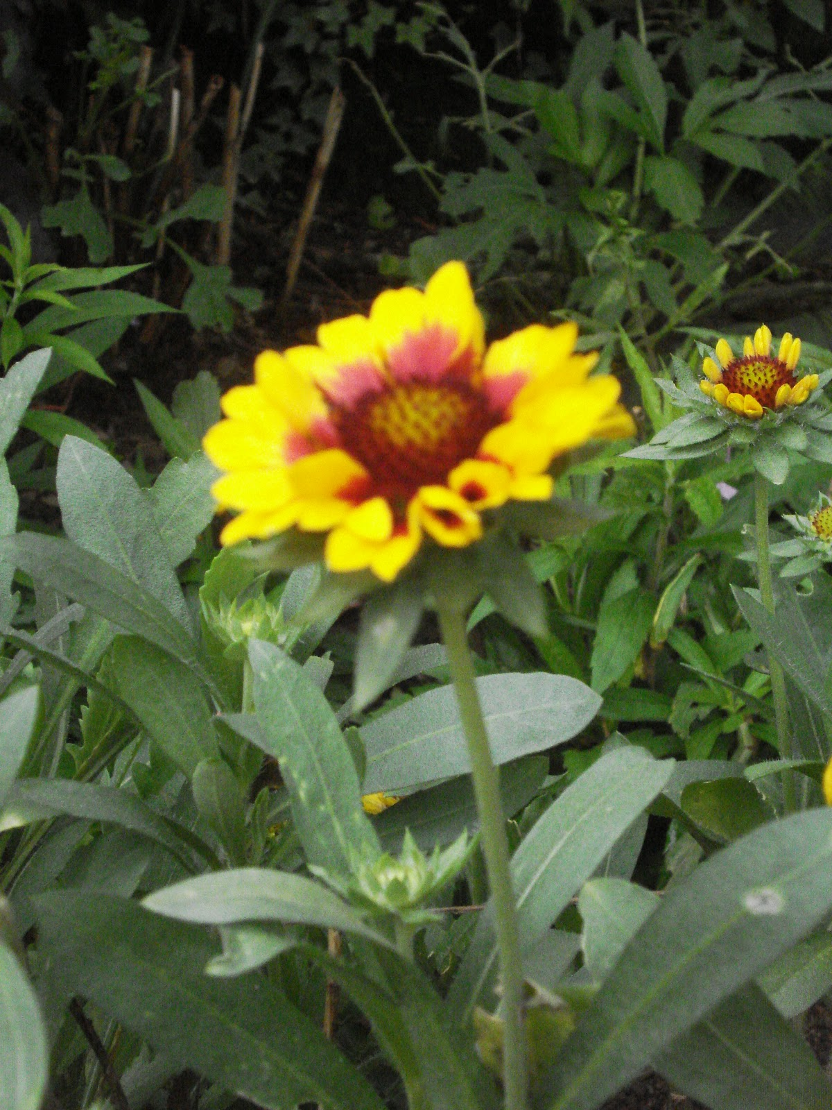 dk celluler rikillagaskada  chrysanthemum  kapuru
