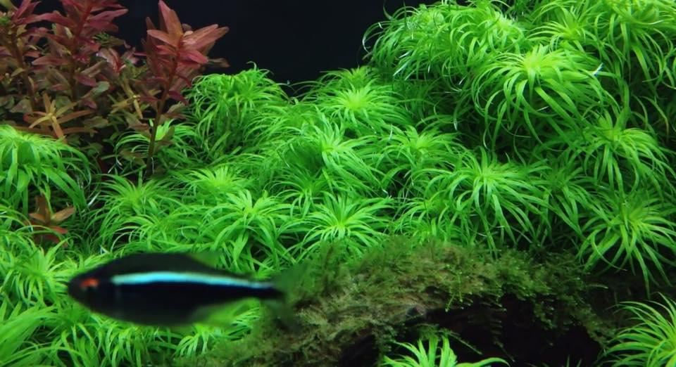 Vẻ đẹp của cây thủy sinh Totina